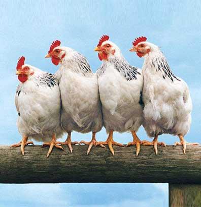 鸡场钢构方案